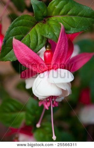 Red and White Fuchsia closeup