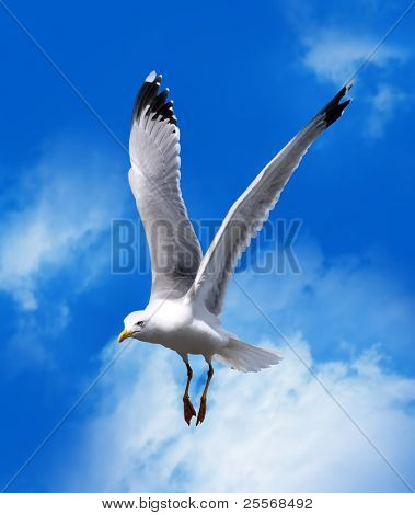 sea gull flying in a blue sky