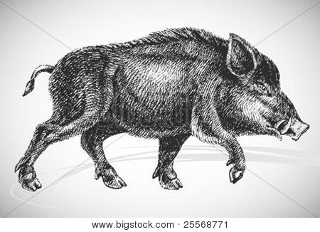 boar realistic drawing - vintage styled vector, isolated on white background