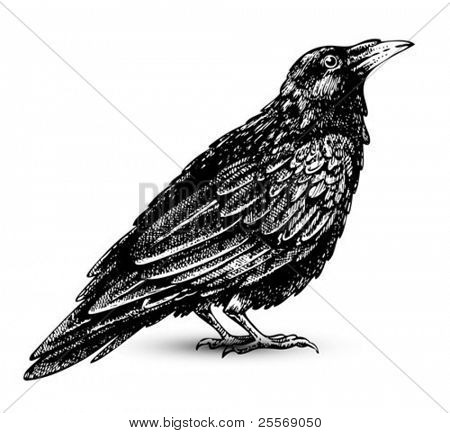 Raven drawing high quality vector