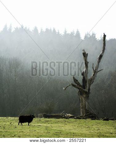 Black Sheep, Dead Tree, Misty Morning