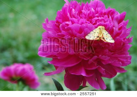 A Pink Peony Flower