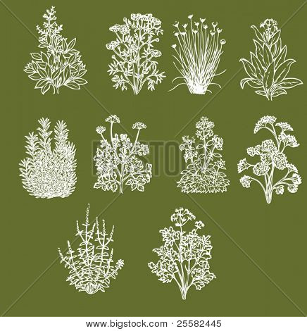 Set of ten most popular aromatic cooking herbs