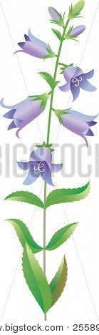 bluebell - vector illustration