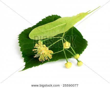 Linden leaf and flowers