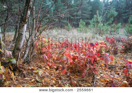 Autumn Colors Of Blackberry On The Edge Of The Forest