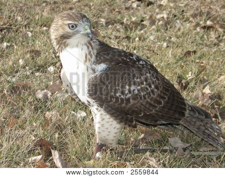 Male Redtail Hawk