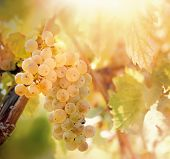 Grape, White Grape - Grape Riesling (wine Grape) On Grapevine In Vineyard poster