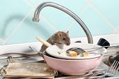 Young Rat (rattus Norvegicus) Climbs Into The Dish With The Leftovers Of Food On A Plate On Sink At  poster