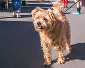 Cute Brown Furry Mixed Breed Dog On Leash In Public At A Market On Pavement In New Zealand, Nz poster