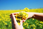 stock photo of biodiesel  - Bright yellow Brassica napus flowers in their hands - JPG