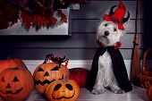 Funny West Highland White Terrier Dog In Scary Halloween Costume And Red Hat With Devil Horns Sittin poster