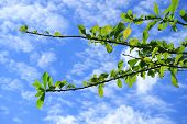 Plumeria Tree Branches With Vibrant Green Leaves Against Vibrant Blue Sky And White Clouds Of Bangko poster