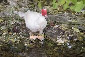 A White Muscovy Drake Standing Next To The Edge Of A Creek. poster