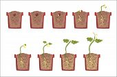 Plant Seed Growth, Development And Rooting Inside The Flower Pot, Classic Botany Textbook Educationa poster