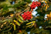 Red Ripe Rowan Berries Against Sun Rays, Mountain Ash Tree With Ripe Berry.branch Of Ash Berry.rowan poster