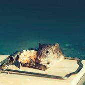 Marketing And Crisis, Cute House Grey Mouse Or Rat, Small Rodent Animal, Sitting At String Mousetrap poster