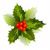 picture of holly  - nice Christmas holly branch - JPG