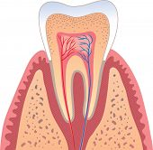 Human tooth structure - vector illustration