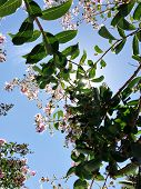 Tabebuia Rosea Is A Pink Flower Neotropical Tree And Blue Sky. Common Name Pink Trumpet Tree, Pink P poster