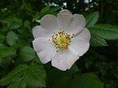 Blossom Of A Wild Rose Bush In The Mountains poster