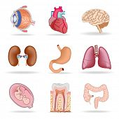 stock photo of intestines  - Human organs - JPG