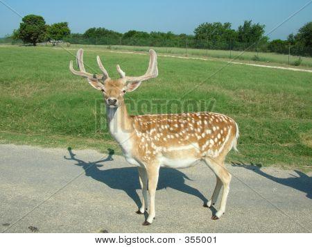 Fallow Deer2
