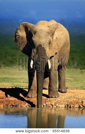 Elephant drinking at waterhole - Addo National Park