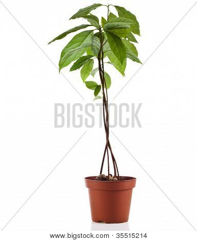 avocado young tree  isolated on white background