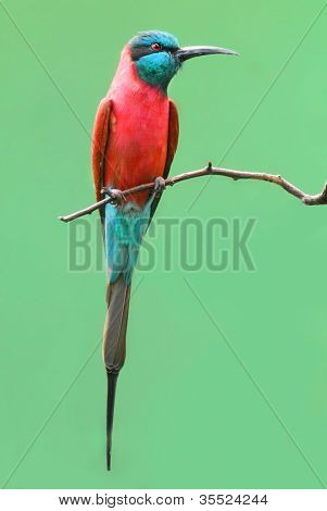 A Northern Carmine Bee-Eater (Merops nubicus). This african bird eating is made up primarily of bees and other flying insects, such as grasshoppers and locusts.