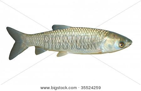The White Amur or Grass Carp (Ctenopharyngodon idella)  it is cultivated in China for food, was introduced in Europe and the United States.