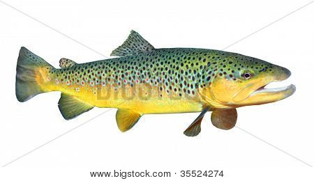 The Brown Trout (Salmo Trutta).