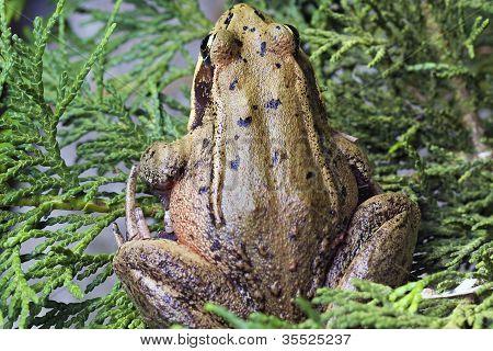 Pacific Tree Frog Closeup