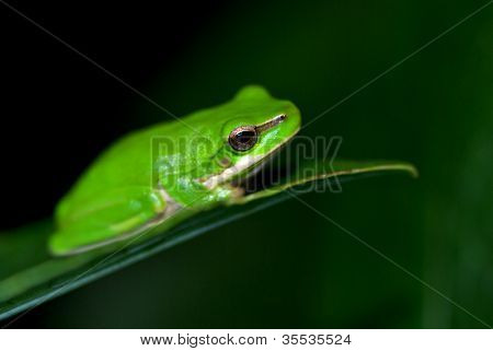 a small dwarf green tree frog sits on a leaf