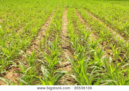 Young Corn Stalks On Plow Land