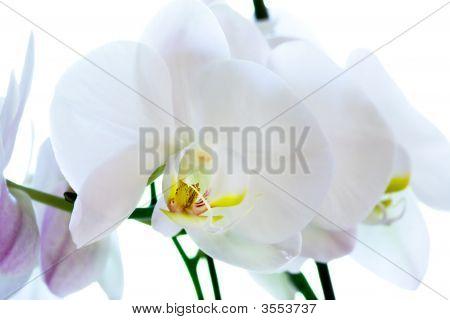 Orchid Flower Macro