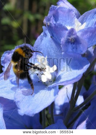 Bumblebee On Delphinium