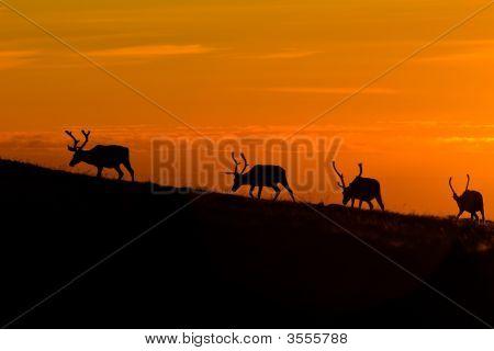 Sunset Deers