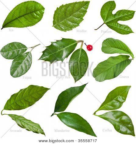 hojas de arboles frutales: