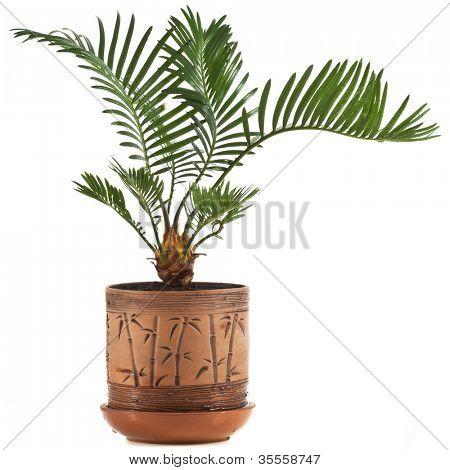 palm tree in flowerpot on white background