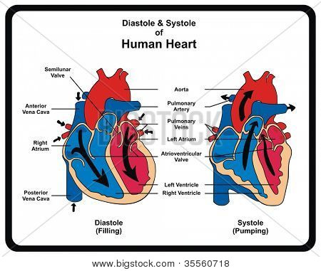 Vector - Diastole & Systole (Filling & Pumping) of Human Heart