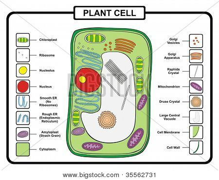 Compare bacteria plant and animal cells worksheet answers