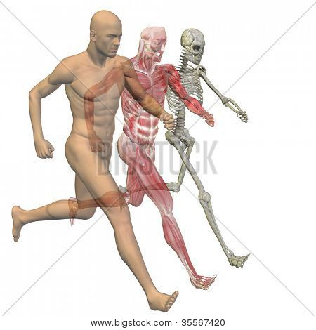 High resolution conceptual 3D human ideal for anatomy,medicine and health designs, isolated on white background. It is a man made of a skeleton and a transparent blue body as in a x-ray