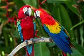 Couple Of Green-winged And Scarlet Macaws In Nature Surrounding