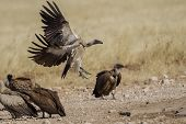 White-backed vulture in Etosha National Park, Namibia
