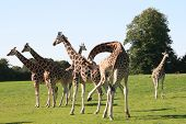 picture of zoo animals  - giraffe is the highest animal long neck unique camouflage - JPG