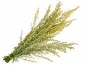 picture of sagebrush  - Medicinal plant - JPG