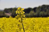 picture of rape-seed  - Closeup of rape seed flower in field of rape crop - JPG