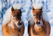 image of pony  - in winter two cute ponies - JPG