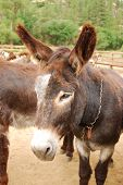 foto of castrated  - A burro  - JPG